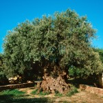 Vouves' Olive Tree - Oscar car Rent a car all over Crete
